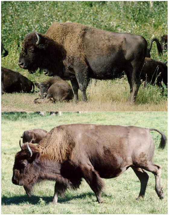 bison mature singles Bison mate in late summer and early fall a single reddish-brown calf is born the following spring,  bison are mature at three years of age, .