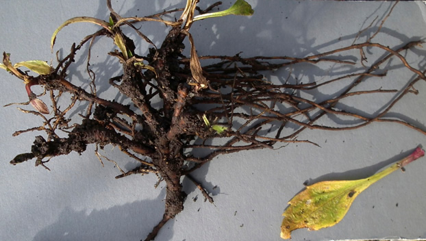 Roots of six-year old Griscom's Arnica plant grown in garden conditions