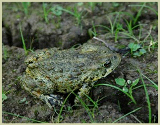 Photo of Western Toad