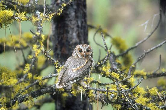 Photo of an adult female Flammulated Owl Otus flammeolus.