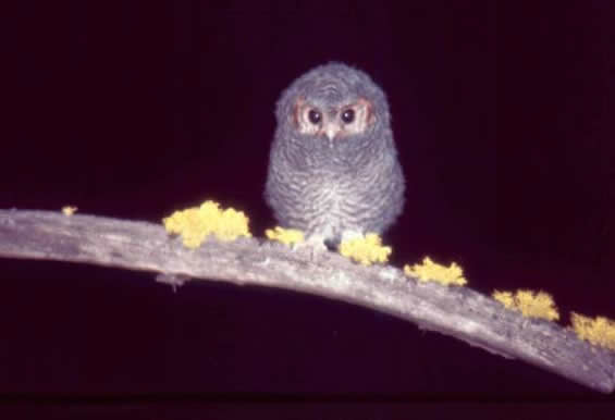 Photo of a Flammulated Owl showing a juvenile.