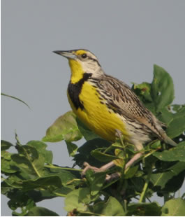 Photo of an Eastern Meadowlark Sturnella magna perched on a branch.