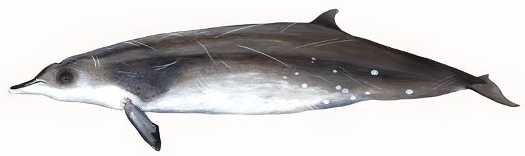 Sowerby's beaked whale