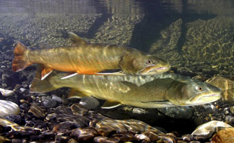 photo of bull trout
