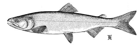 Illustration of adult sockeye salmon (reproduced from Hart 1973).