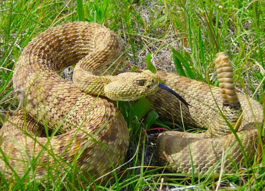 Rattlesnakes In Colorado Map.Species At Risk Public Registry Cosewic Assessment And Status