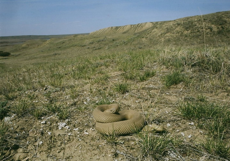 An example of Prairie Rattlesnake