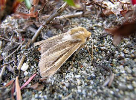 Photo of Part 2: Sand-verbena Moth in British Columbia.