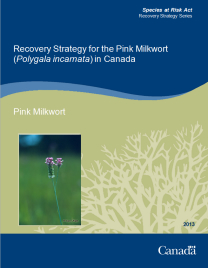 Cover page of the publication: Recovery Strategy for the Pink Milkwort (Polygala incarnata) in Canada – 2013.
