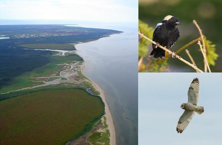 The photomontage is composed of three photos. The bigger one, on the left side, is an aerial photo of Kouchibouguac National Park showing the park's shoreline. On the upper right corner, it is a photo of a Bobolink perched on a twig and on the bottom right corner, it is a photo of a Short-eared Owl in a gliding flight with its wings wide open in a pale blue sky.