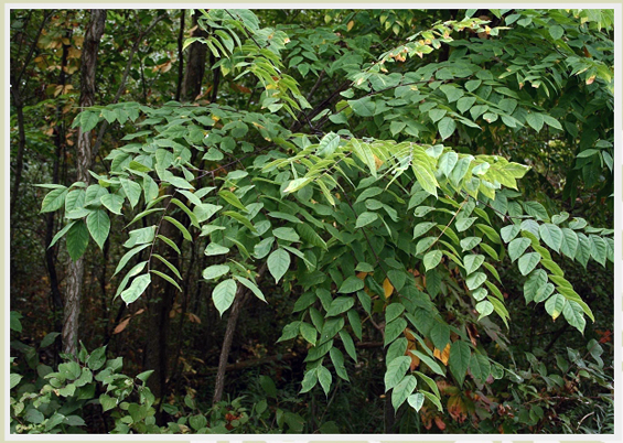 Recovery Strategy for the Kentucky Coffee-tree (Gymnocladus dioicus) in Canada