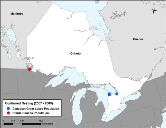 Figure 1 shows the confirmed nesting locations of the Piping Plover in Ontario from 2007-2009.  There are three areas where nesting has occurred: Lake of the Woods (Prairie Canada population), South Georgian Bay (Great Lakes populations), and Rainy River (Great Lakes population).