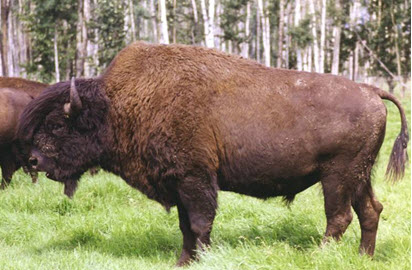 Male Wood Bison
