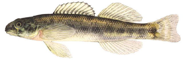 Channel Darter (See long description below)