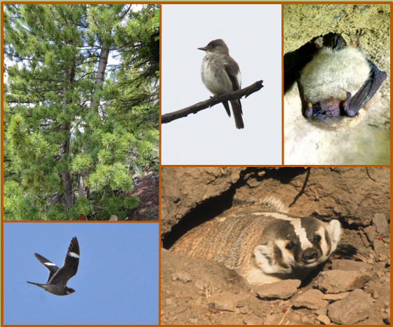 This is a collage of 5 photos. The first photoshows a healthy, double-stemmed Whitebark Pine tree, illustrating the characteristic silvery bark, and dense green needles. The second photo shows an Olive-sided Flycatcher perched on a bare branch. It has a large head and short tail, with dark coloured head and flanks contrasted by a while throat and belly. The third photo shows an American Badger emerging from its den in rusty brown soil. The badger has a prominent white stripe extending from its black nose over its head and down its back. It has white cheeks, flanked by dark patches, or badges. It has large, white ears on the sides of its head. The fourth photo shows a Little Brown Myotis hanging upside down while hibernating. The fifth photo a Common Nighthawk in flight. Its wings are spread wide above its body, showing the broad white wing bars, and a white patch on its throat.