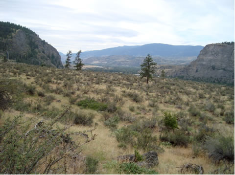 Photo of Antelope-brush Purshia tridentata plant community at the Nature Trust property near Okanagan Falls, British Columbia.