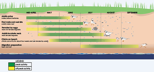 This chart shows the breeding activity timeline of the Piping Plover. From mid-April to June the adults arrive, and males defend territories. From May to early July the birds find mates and nesting sites. From May to early July females lay eggs, and the nests are not tended regularly. From late May to early August the adults incubate nests, and the nests are tended regularly. From late May to August chicks are on the beach. They cannot fly for about four weeks and are tended by adults. From late May to September the birds feed and rest to prepare for migration.