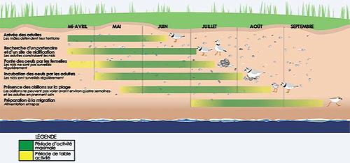 Cette  illustration montre le calendrier de reproduction du pluvier siffleur. De la mi-avril  à juin, les adultes arrivent et les mâles défendent leurs territoires. De mai  au début juillet, les oiseaux trouvent leurs partenaires et leurs sites de  nidification. De mai au début juillet, les femelles pondent mais ne s'occupent  pas des nids régulièrement. De la fin mai au début août, les adultes incubent  les œufs, dont ils s'occupent régulièrement. De la fin mai à  août, les oisillons se promènent sur la plage. Ils ne peuvent pas voler pendant  environ quatre semaines et les adultes prennent soin d'eux. De mai à  septembre, les oiseaux se nourrissent et se reposent pour se préparer à la  migration.
