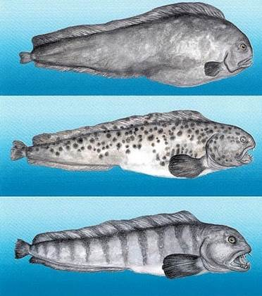 Northern Wolffish, Spotted Wolffish and Atlantic Wolffish