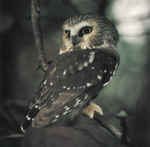 Photo of the Northern Saw-whet Owl