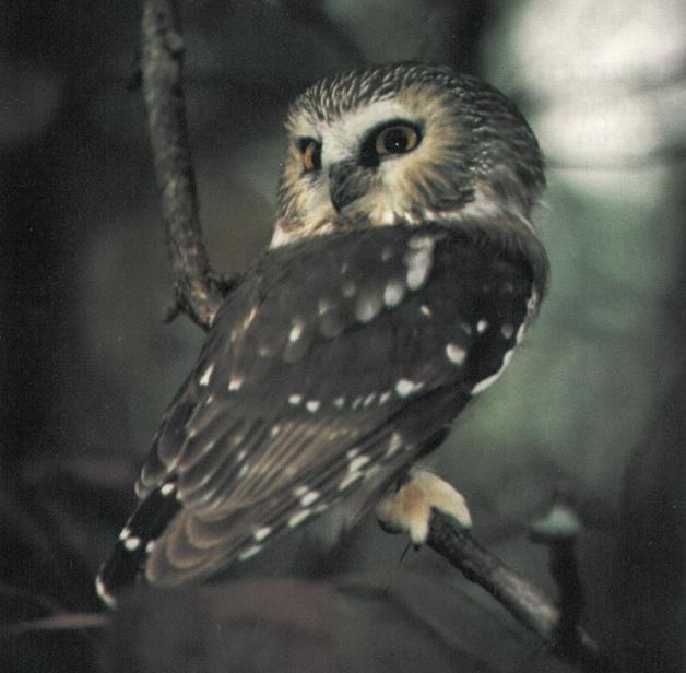 Photo de la Petite Nyctale de la sous-espèce brooksi