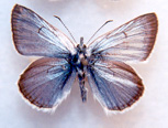 Recovery Strategy for the Greenish Blue insulanus subspecies (Plebejus saepiolus insulanus) in British Columbia