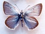 Programme de rétablissement de la sous-espèce insulanus du bleu verdâtre (Plebejus saepiolus insulanus) en Colombie-Britannique