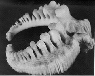 Figure 1. Pharyngeal apparatus of the adult Copper Redhorse. Photo: Yves Chagnon, Ministère des ressources naturelles et de la faune du Québec
