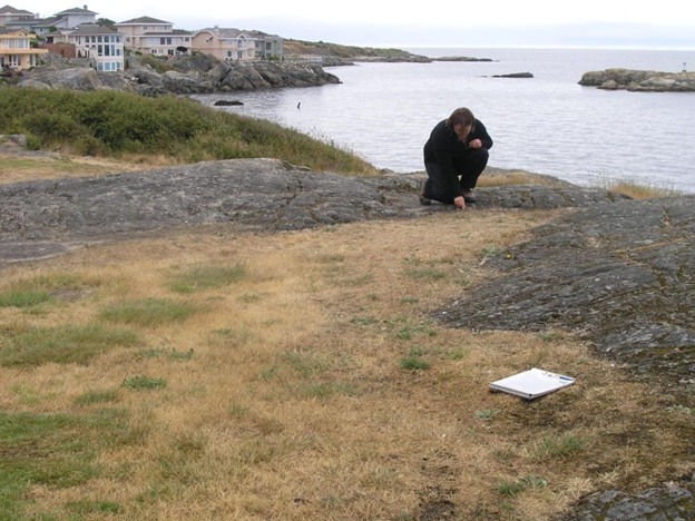 Photographe montrant habitat du microséris de Bigelow dans le parc Saxe Point, à Esquimalt.