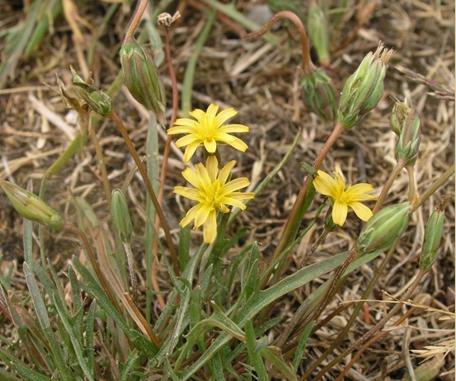 Photographe de Plant florifère du microséris de Bigelow
