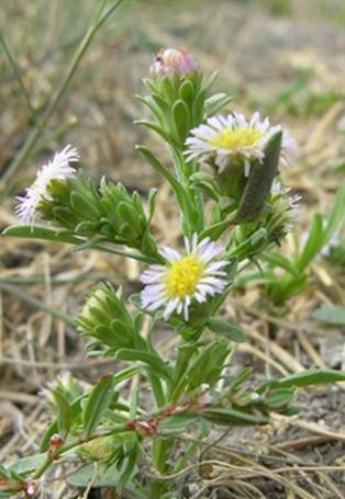 Photo: Short-rayed Alkali Aster