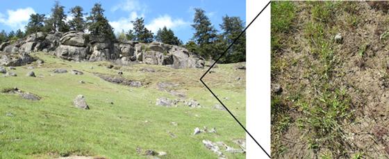 Habitat de la plagiobothryde délicate où l'on peut voir du sol nu.