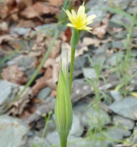 Uropappe de Lindley en fleur.
