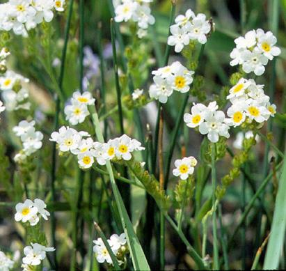 Plagiobothryde odorante en fleur.