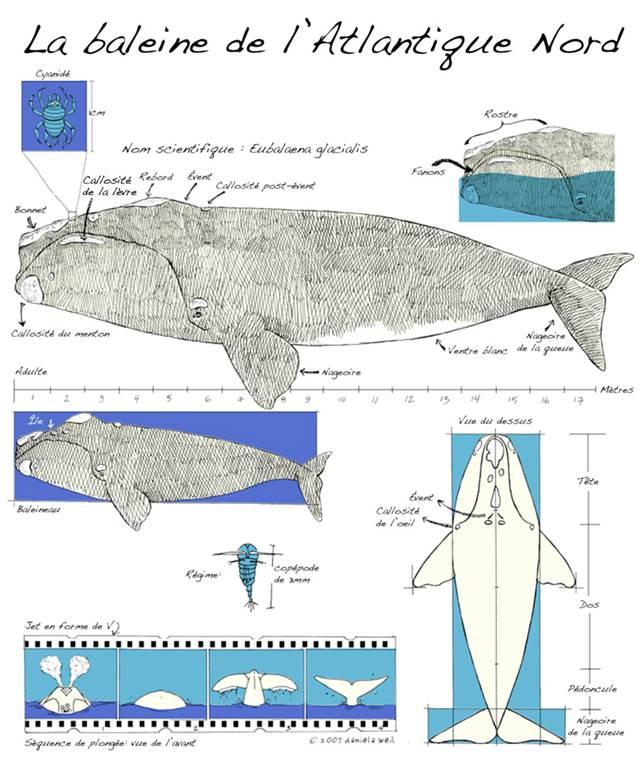 Schéma de la baleine noire de l'Atlantique Nord