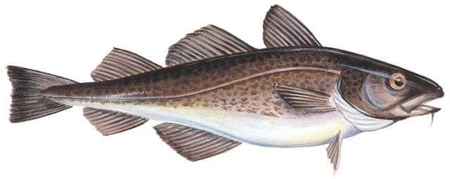 photo of Atlantic Cod