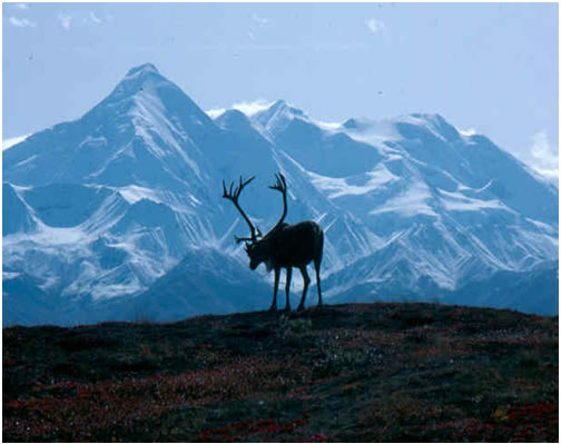 Photo of Woodland Caribou Northern Mountain Population
