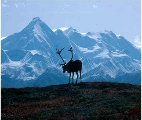 Photo : Caribou des bois, population des montagnes du Nord.