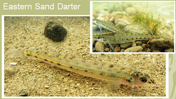 Sand Darter