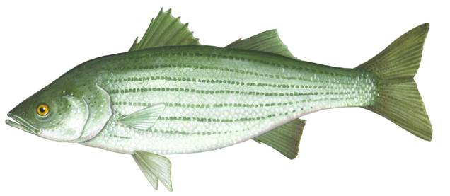Drawing of a Striped Bass