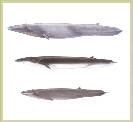 Blue, Fin and Sei Whales