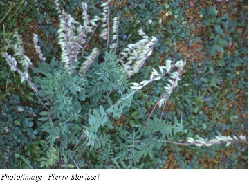 Fernald's Milk-vetch Photo 1