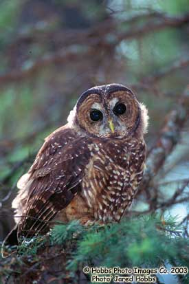 Spotted Owl caurina subspecies Photo 1