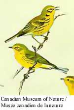 Prairie Warbler Photo 1
