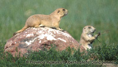 Black-tailed Prairie Dog Photo 1