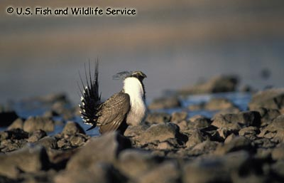 Greater Sage-Grouse phaios subspecies Photo 1