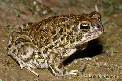 Great Plains Toad Photo 1