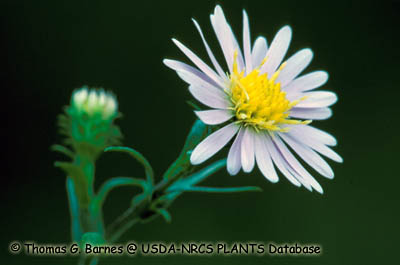 Crooked-stem Aster Photo 1