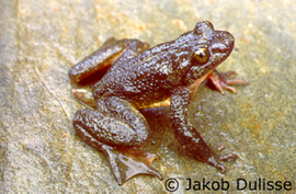 Rocky Mountain Tailed Frog Photo 1