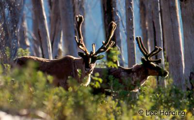 Caribou Photo 1
